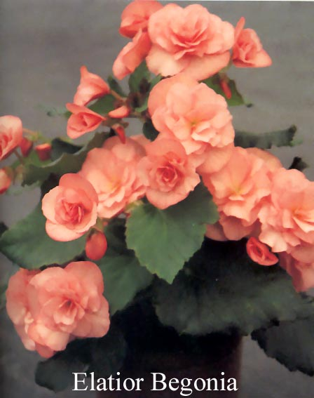 The Different Types Of Begonia Flowers